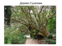 Дерево Суничник