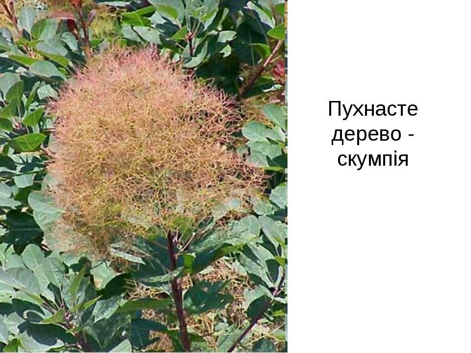 Пухнасте дерево - скумпія