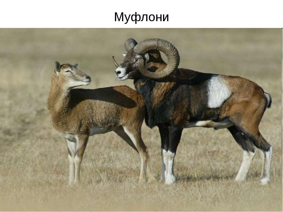Муфлони