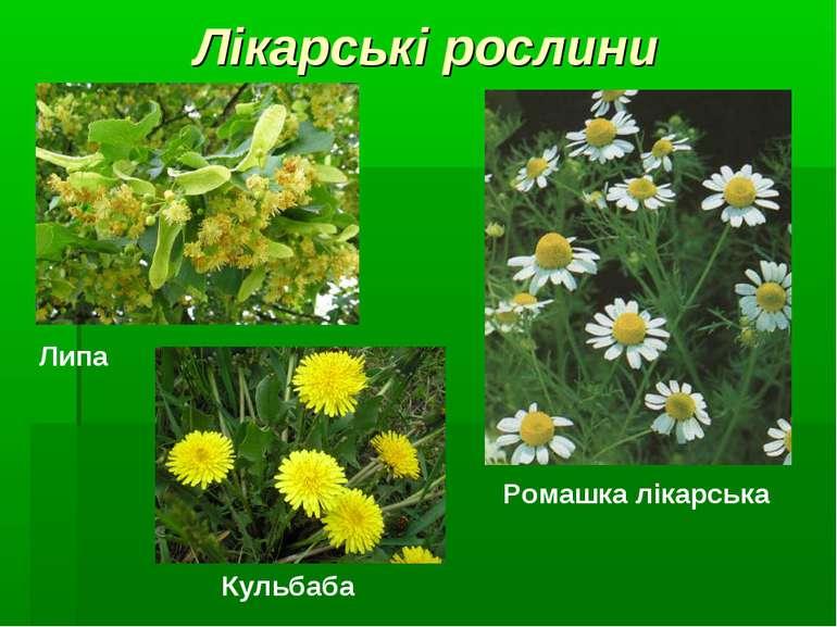 Лікарські рослини Липа Ромашка лікарська Кульбаба