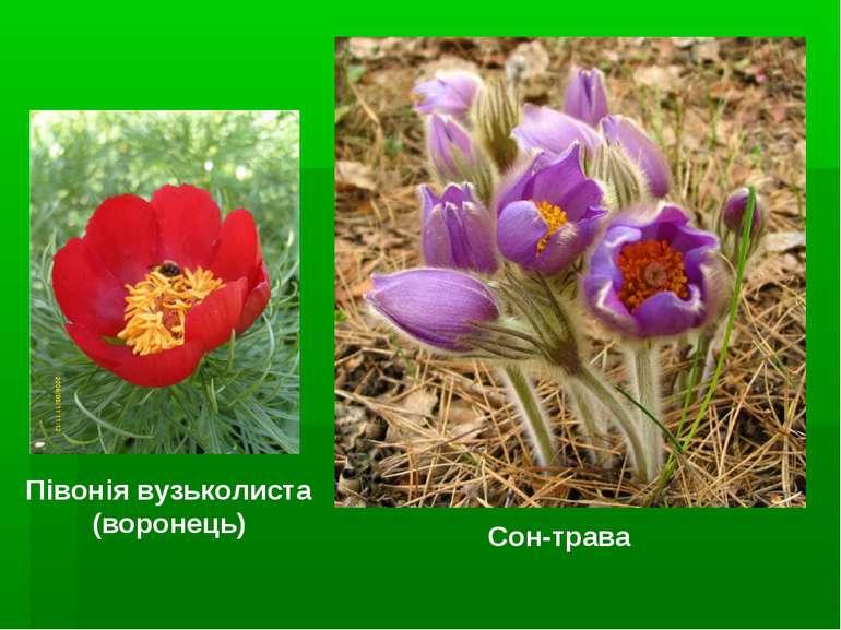 Півонія вузьколиста (воронець) Сон-трава