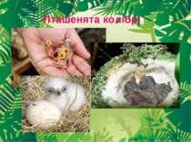 Пташенята колібрі
