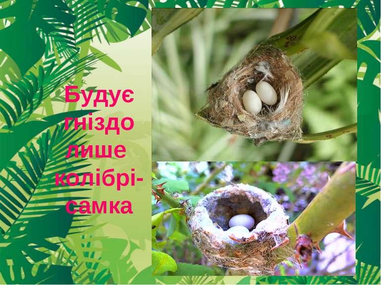 Будує гніздо лише колібрі-самка
