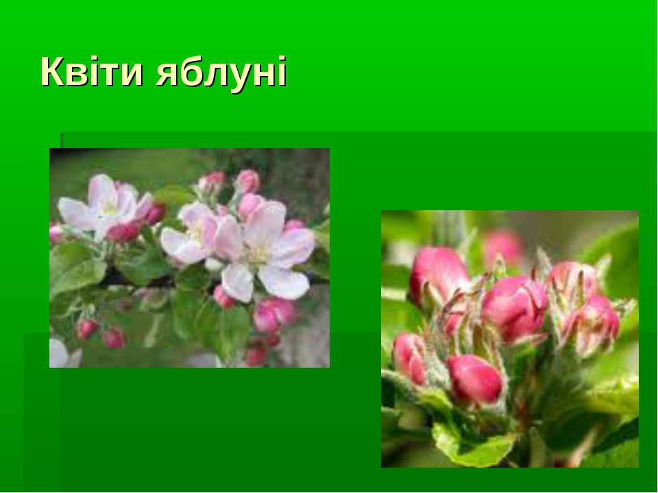 Квіти яблуні