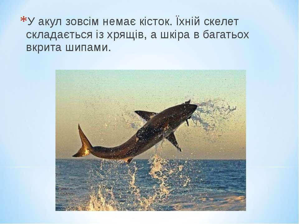У акул зовсім немає кісток. Їхній скелет складається із хрящів, а шкіра в баг...