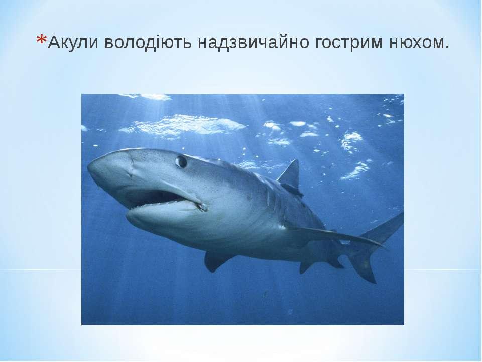 Акули володіють надзвичайно гострим нюхом.