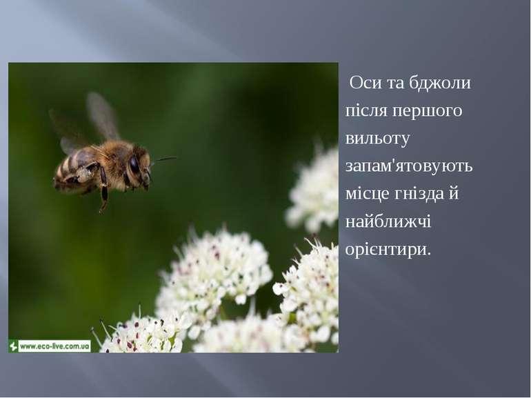 Оси та бджоли після першого вильоту запам'ятовують місце гнізда й найближчі о...