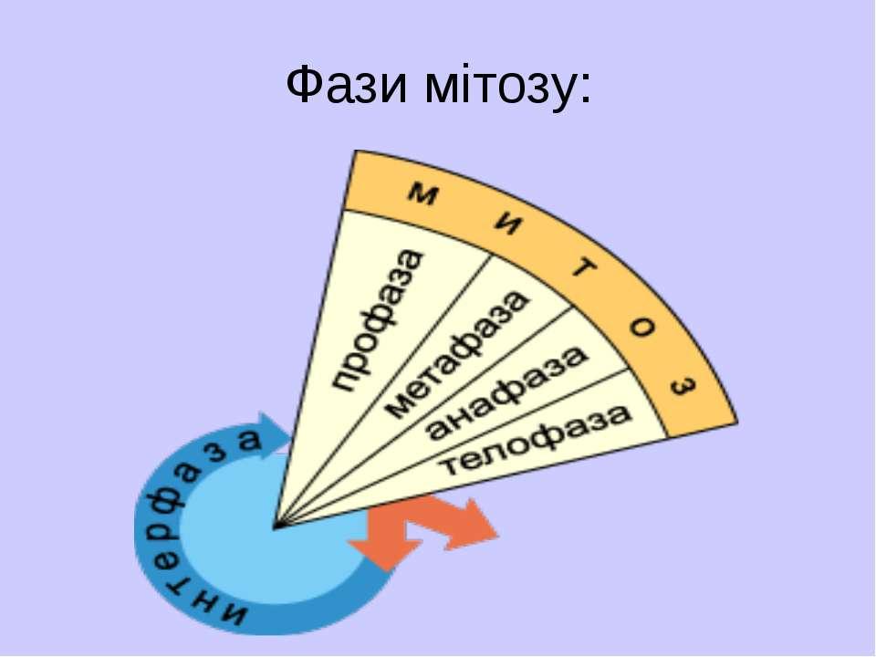 Фази мітозу: