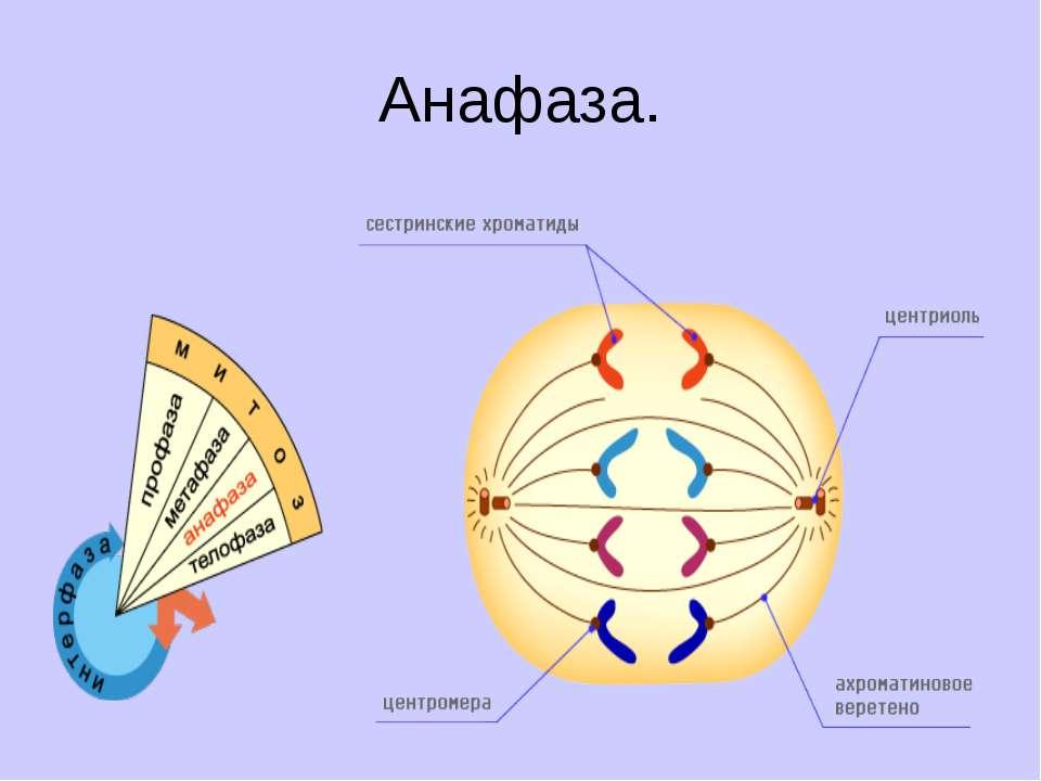 Анафаза.
