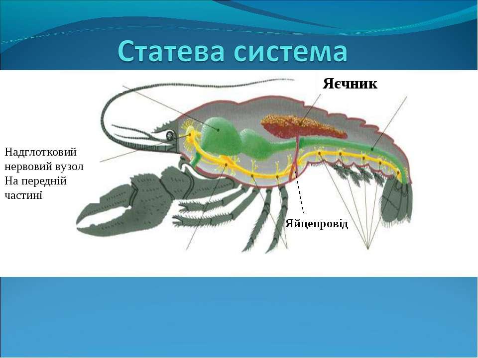 Яєчник Надглотковий нервовий вузол На передній частині Яйцепровід