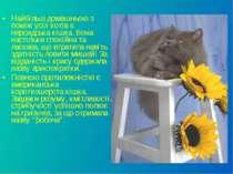Найбільш домашньою з поміж усіх котів є персидська кішка. Вона настільки спок...