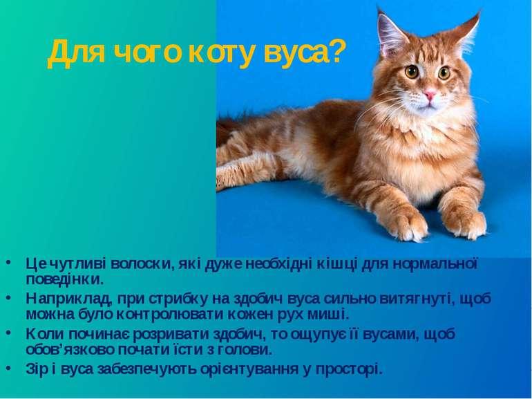 Для чого коту вуса? Це чутливі волоски, які дуже необхідні кішці для нормальн...