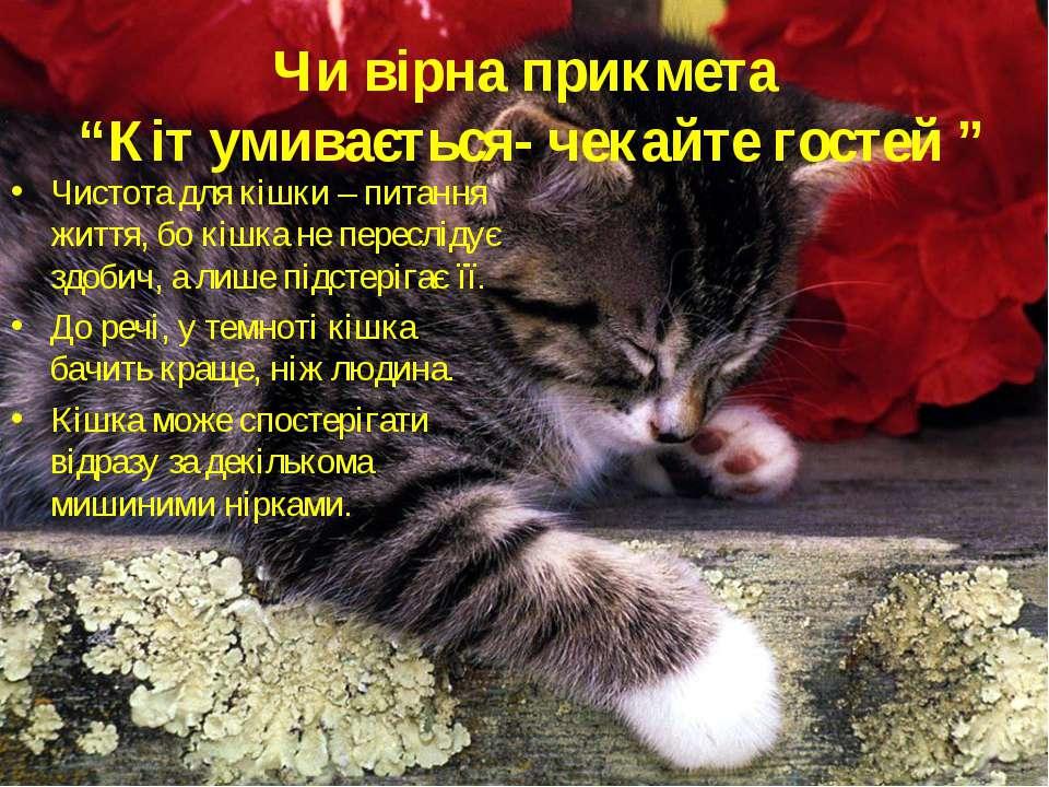 """Чи вірна прикмета """"Кіт умивається- чекайте гостей """" Чистота для кішки – питан..."""