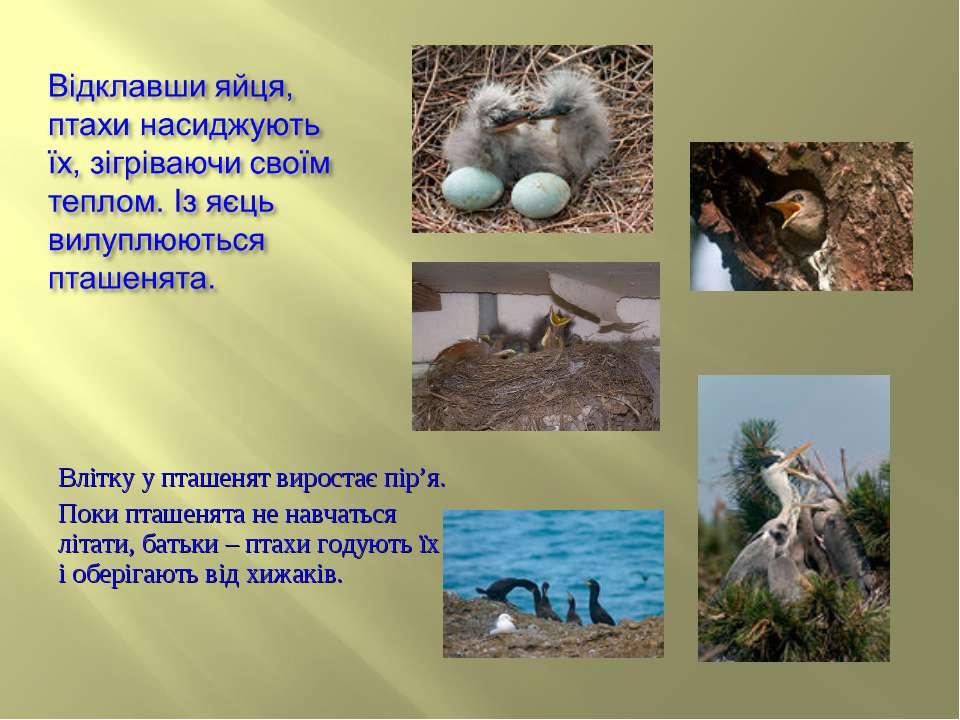 Влітку у пташенят виростає пір'я. Поки пташенята не навчаться літати, батьки ...