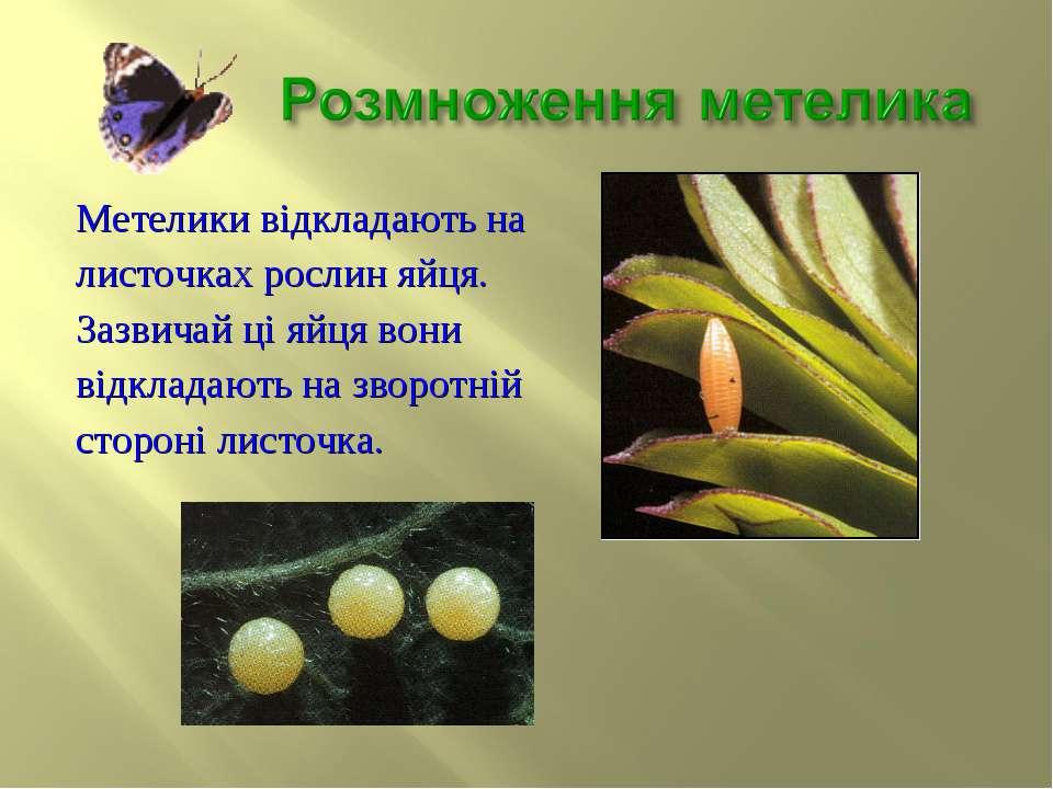 Метелики відкладають на листочках рослин яйця. Зазвичай ці яйця вони відклада...