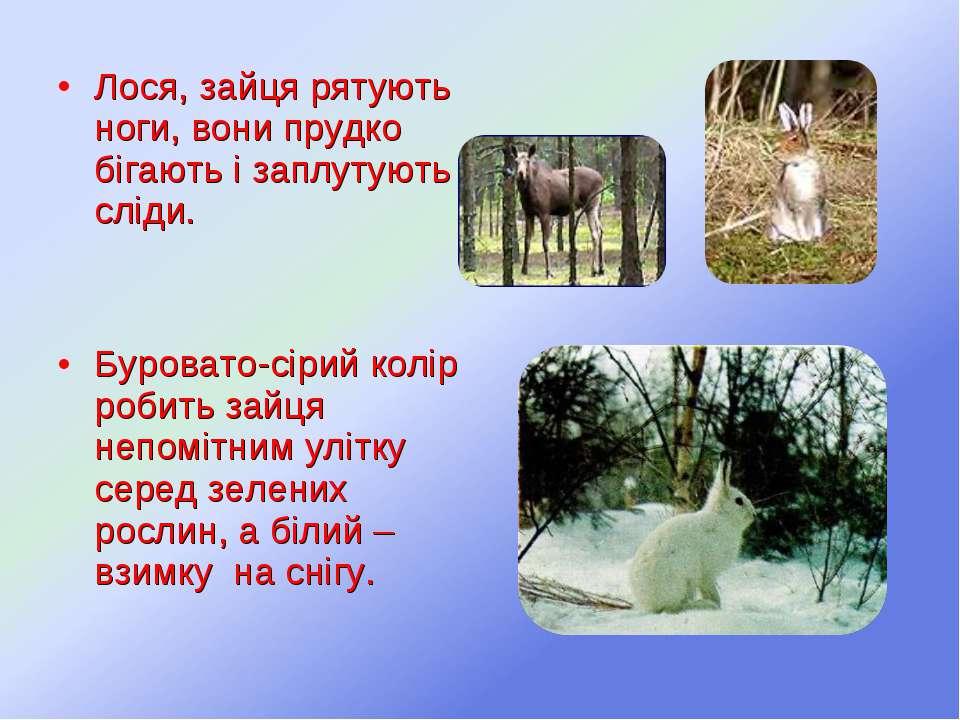 Лося, зайця рятують ноги, вони прудко бігають і заплутують сліди. Буровато-сі...