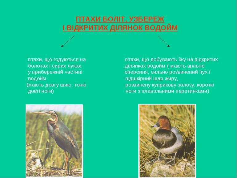 ПТАХИ БОЛІТ, УЗБЕРЕЖ І ВІДКРИТИХ ДІЛЯНОК ВОДОЙМ птахи, що годуються на птахи,...