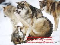Вовки супроводжують своїх малюків всю зиму, а навесні ті починають самостійне...
