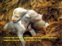 Наприкінці лютого у ведмедиці народжуються маленькі, ведмежата вагою 500г. Во...