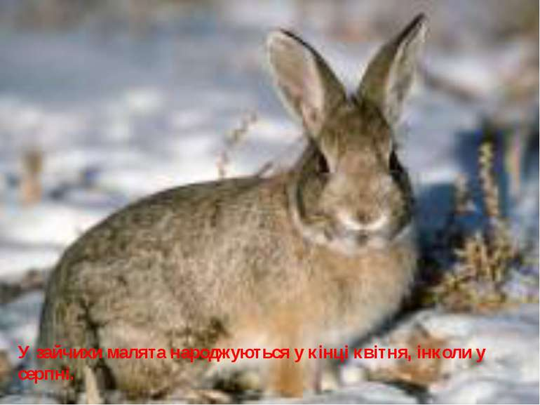 У зайчихи малята народжуються у кінці квітня, інколи у серпні.