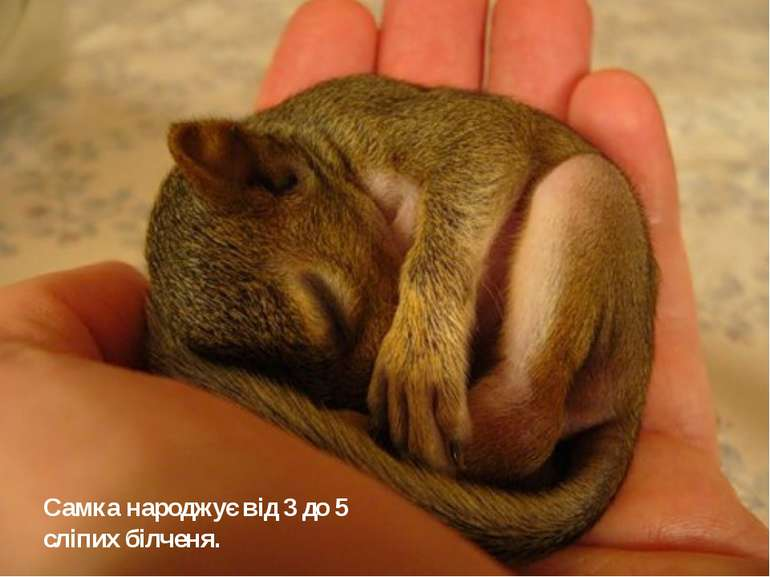 Самка народжує від 3 до 5 сліпих білченя.