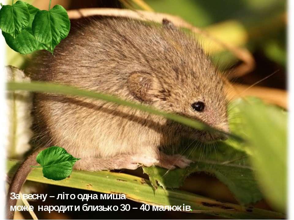 За весну – літо одна миша може народити близько 30 – 40 малюків.