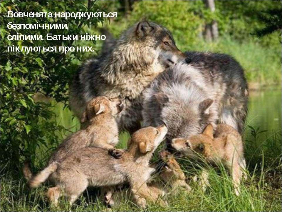 Вовченята народжуються безпомічними, сліпими. Батьки ніжно піклуються про них.