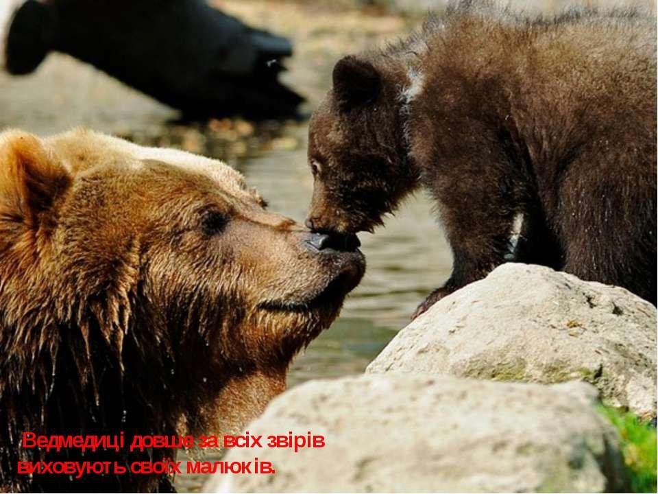 Ведмедиці довше за всіх звірів виховують своїх малюків.