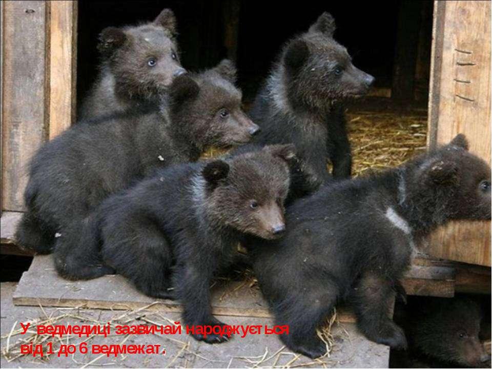У ведмедиці зазвичай народжується від 1 до 6 ведмежат.
