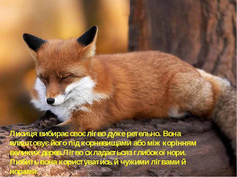 Лисиця вибирає своє лігво дуже ретельно. Вона влаштовує його під корневищами ...