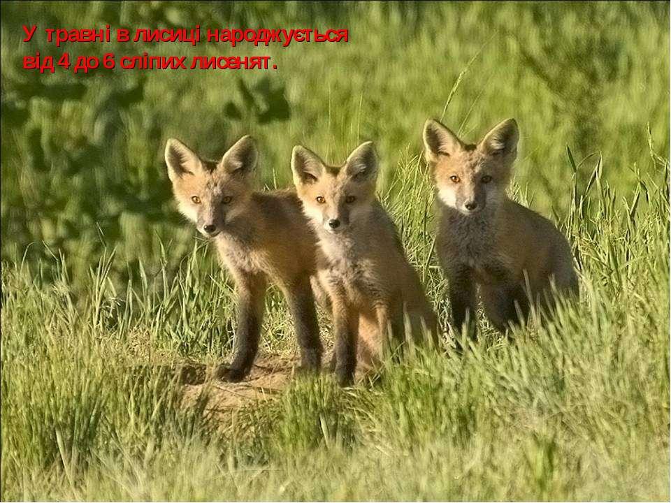 У травні в лисиці народжується від 4 до 6 сліпих лисенят.