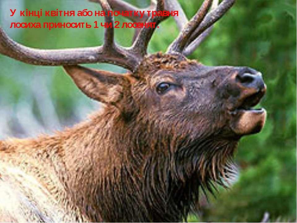 У кінці квітня або на початку травня лосиха приносить 1 чи 2 лосенят.
