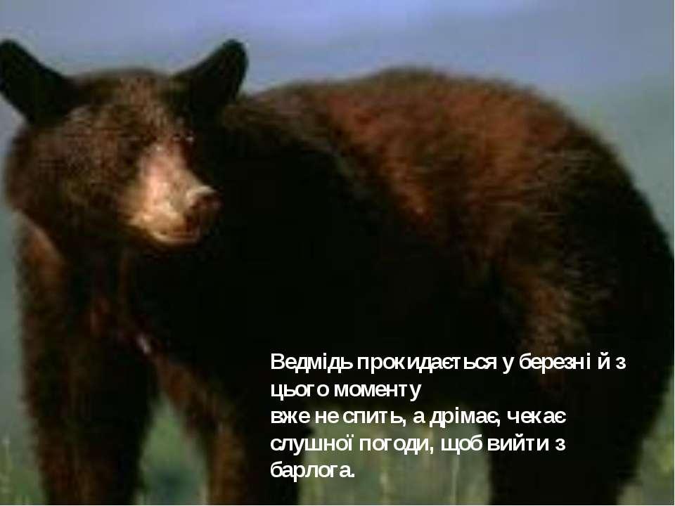 Ведмідь прокидається у березні й з цього моменту вже не спить, а дрімає, чека...