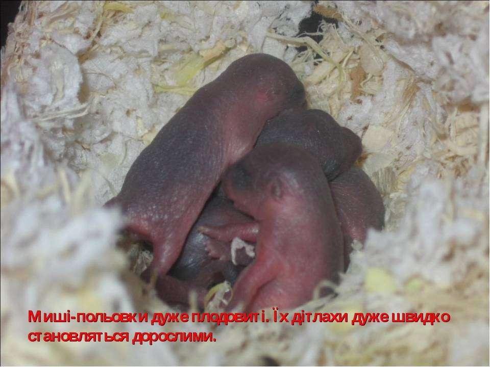 Миші-польовки дуже плодовиті. Їх дітлахи дуже швидко становляться дорослими.