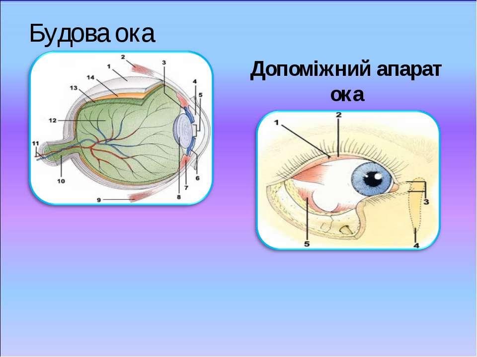 Будова ока Допоміжний апарат ока
