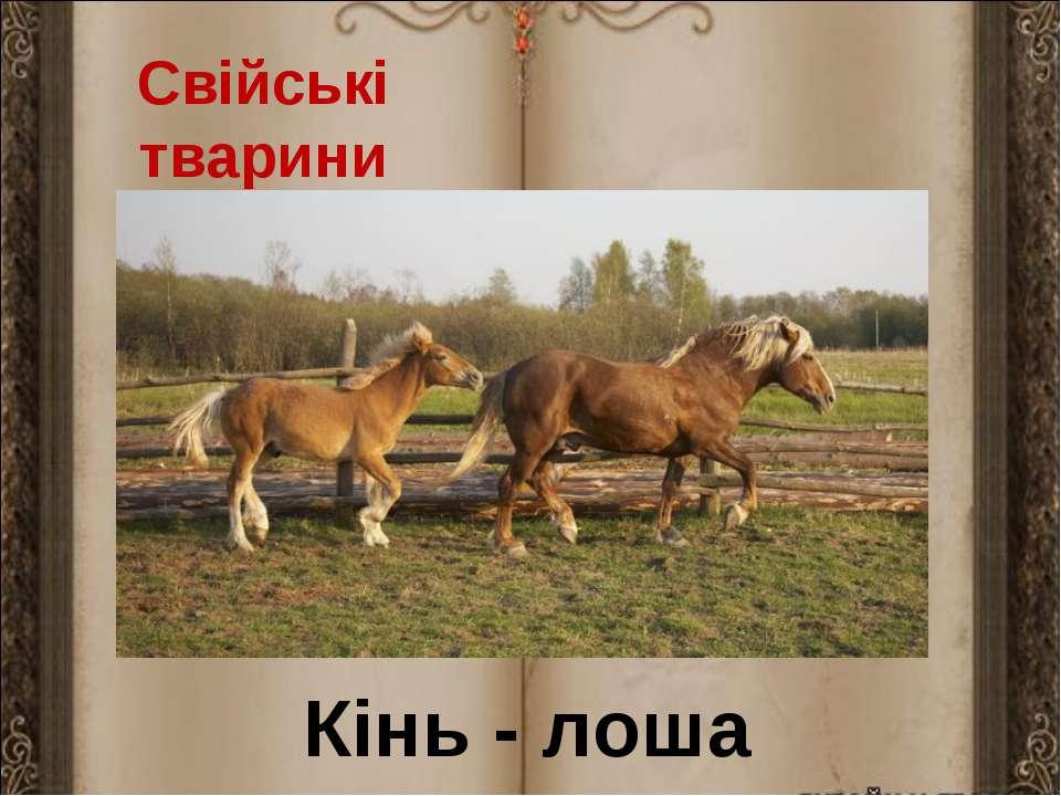 Свійські тварини Кінь - лоша