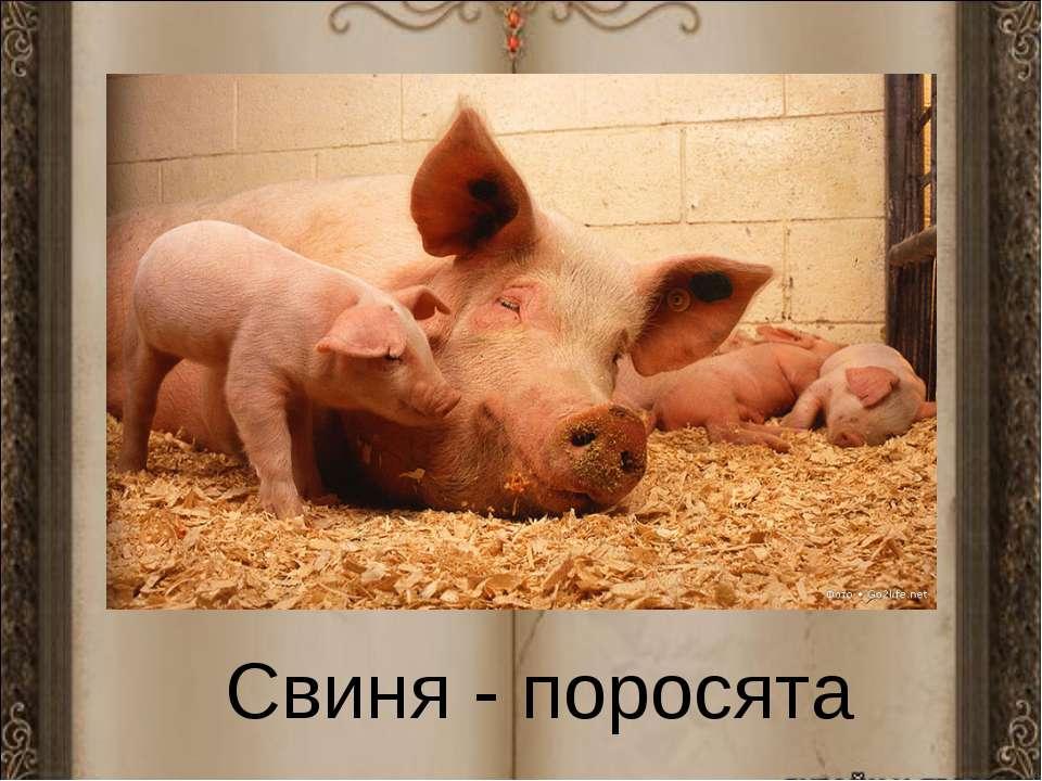 Свиня - поросята
