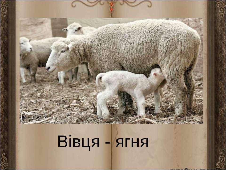 Вівця - ягня
