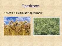 Тритікале Жито + пшениця= тритікале