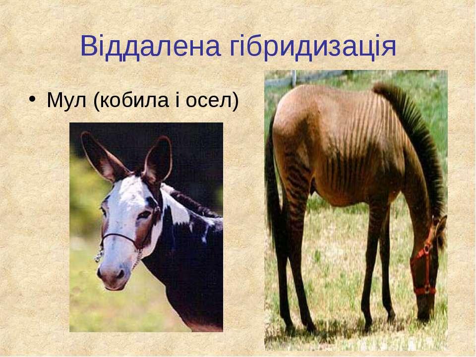Віддалена гібридизація Мул (кобила і осел)