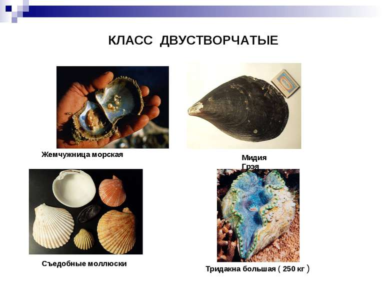 КЛАСС ДВУСТВОРЧАТЫЕ Жемчужница морская Съедобные моллюски Мидия Грэя Тридакна...