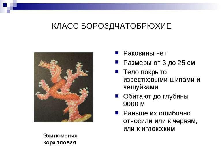 КЛАСС БОРОЗДЧАТОБРЮХИЕ Раковины нет Размеры от 3 до 25 см Тело покрыто извест...