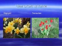 Чим схожі ці квіти Нарцис Тюльпан