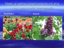 Чим ці квіти відрізняються від тюльпана та нарциса? Жоржина Бузок