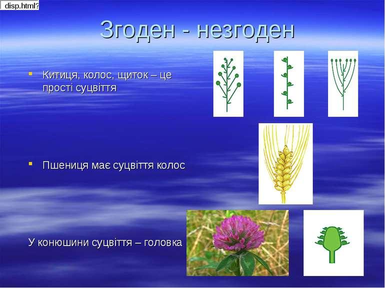 Згоден - незгоден Китиця, колос, щиток – це прості суцвіття Пшениця має суцві...