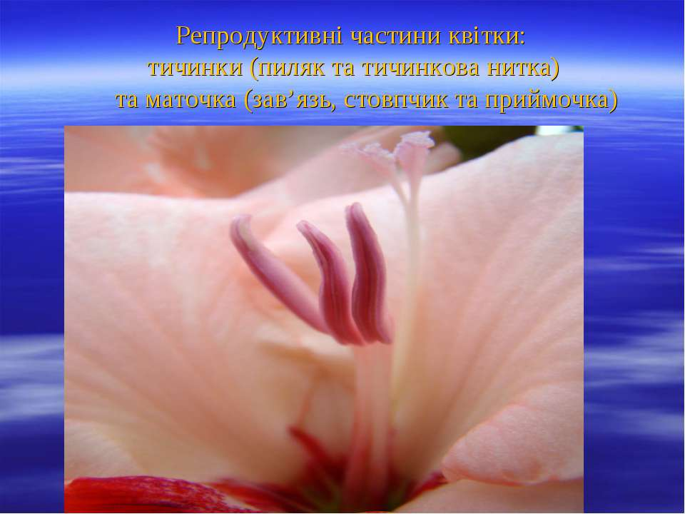 Репродуктивні частини квітки: тичинки (пиляк та тичинкова нитка) та маточка (...