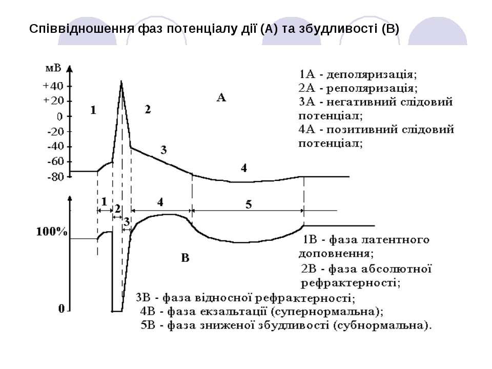 Співвідношення фаз потенціалу дії (А) та збудливості (В)