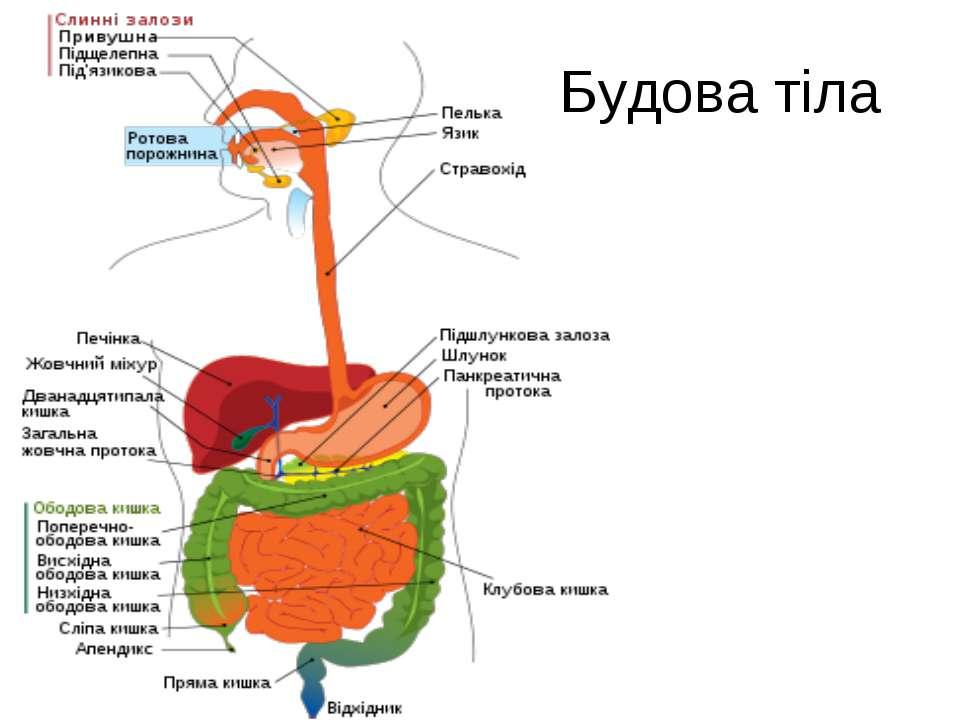 Будова тіла