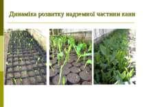 Динаміка розвитку надземної частини канн Рослина на 3-му тижні пророщування. ...