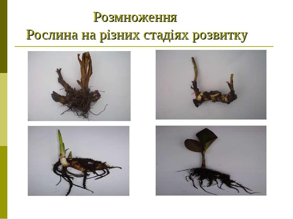 Розмноження Рослина на різних стадіях розвитку